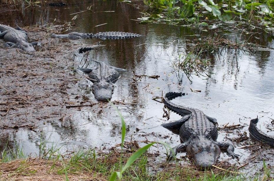 Everglades-0380