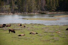 Bison relaxing in the sun.