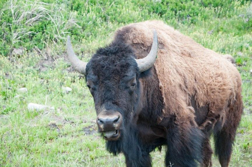 Bison stare down.