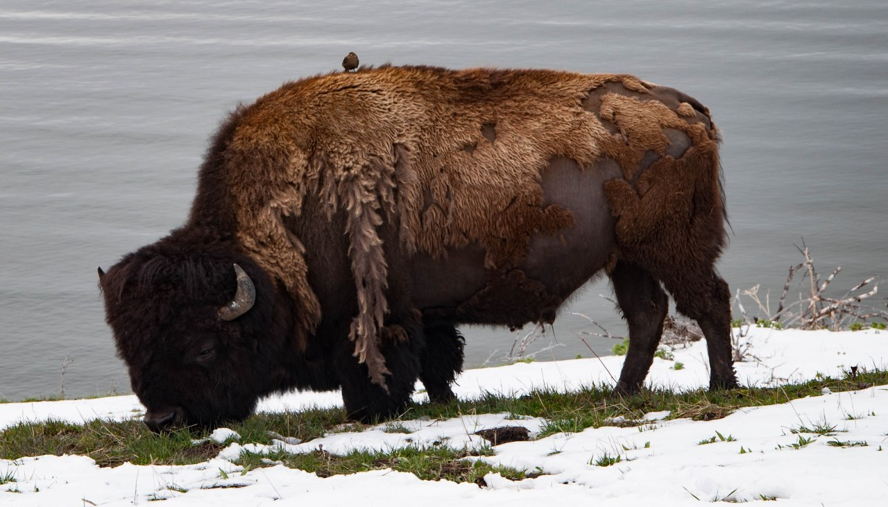 Yellowstone National Park:  Part 2 – A Wildlife ScavengerHunt