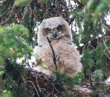 Owls-0130